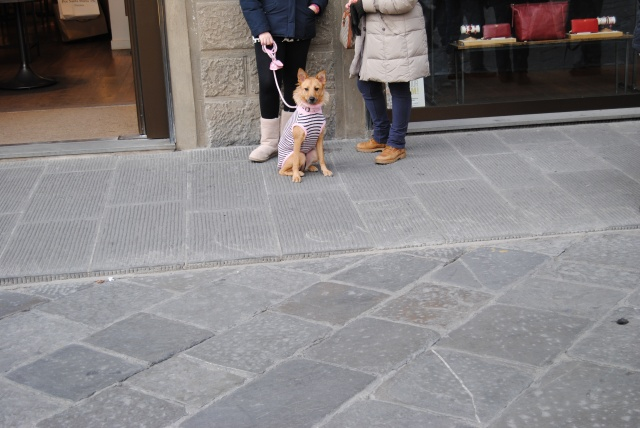 Dog In Florence Waits Patiently In Florence Italy